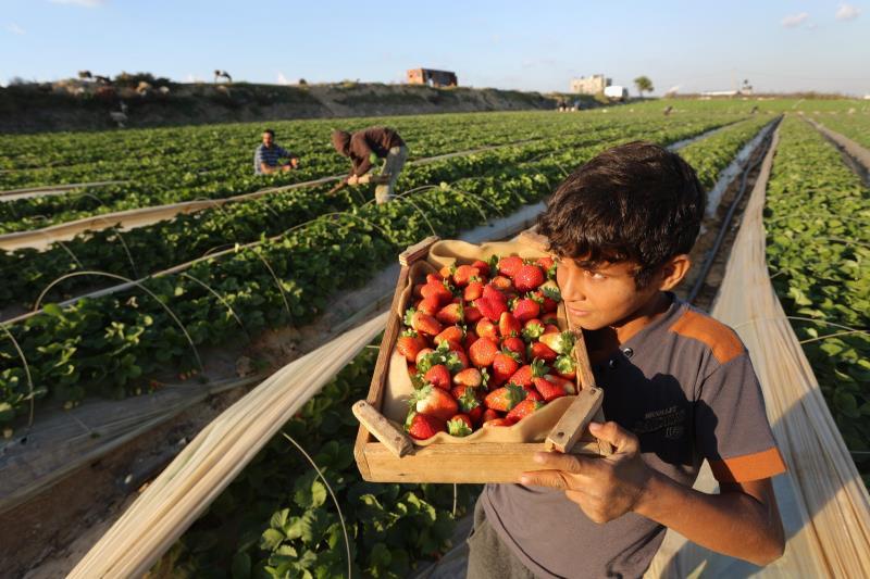 من موسم قطف الفراولة في قطاع غزة