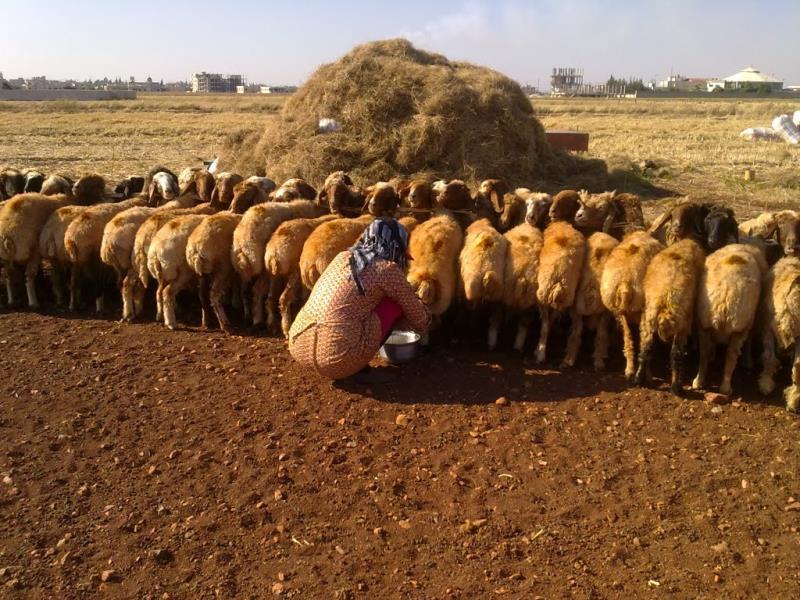 الصحراء السورية هي بادية ترابية صالحة للفلاحة والزراعة واستعادة الخضرة (فادي شاماتان)