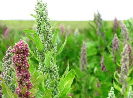 «الكينوا»... من يستثمر في زراعة المستقبل؟