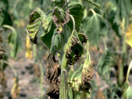Verticillium: مرض فطري خطير يهدد الزراعة