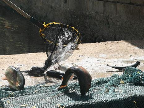 سمكة العاصي: الثروة المهملة