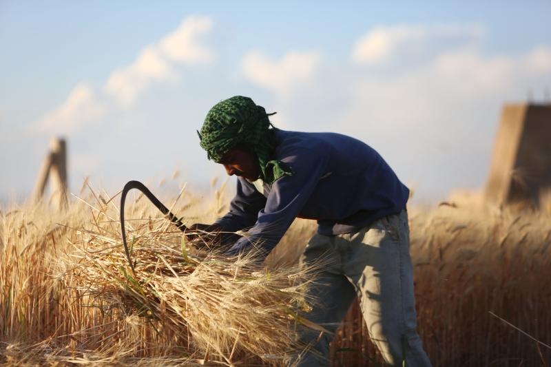 حصاد موسم القمح في بلدة البحيرية في غوطة دمشق الشرقية (أ ف ب)