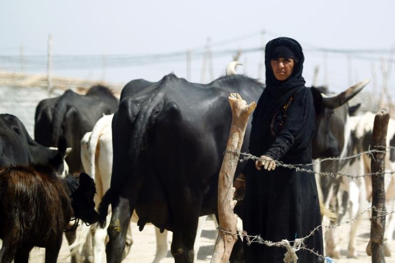 امرأة ترعى الأبقار في إحدى القرى جنوب شرق مدينة النجف (أ ف ب)