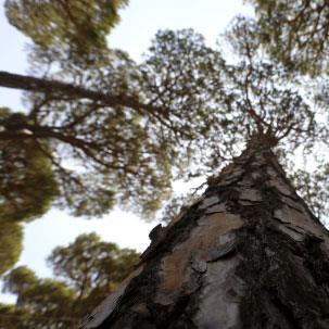 الصّنوبر اللبنانيّ: احذروا... خطر الانقراض