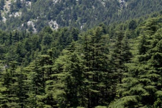 عودة الـ«سيفالسيا»: اليباس يهدّد غابة أرز تنورين
