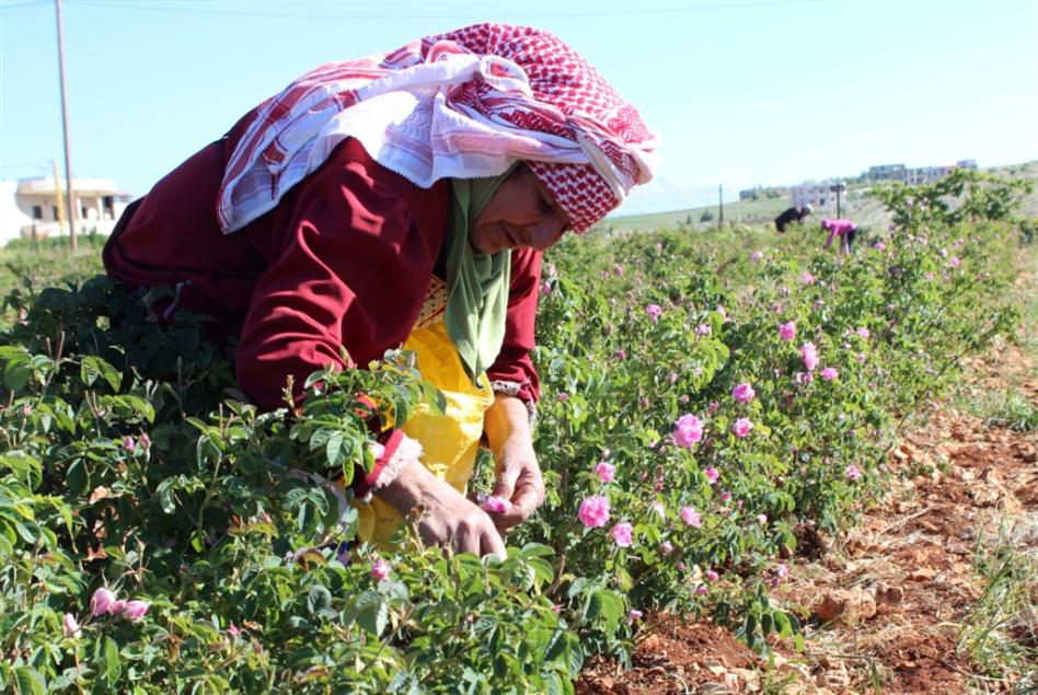 زراعة الجوري في البقاع: يا ورد مين يحميك؟