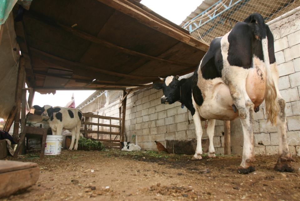 نسبة كبيرة من الحيوانات المريضة تُذبح قبل موتها: أكل اللحم... على «ذمّة» اللحّام