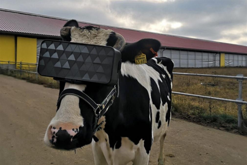 أبقار روسية ترتدي نظارات الواقع الافتراضي، فما السبب؟