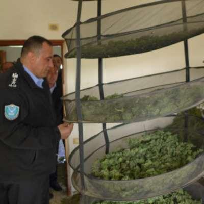 الضفة المحتلة: مزرعة حشيش لإسرائيل!