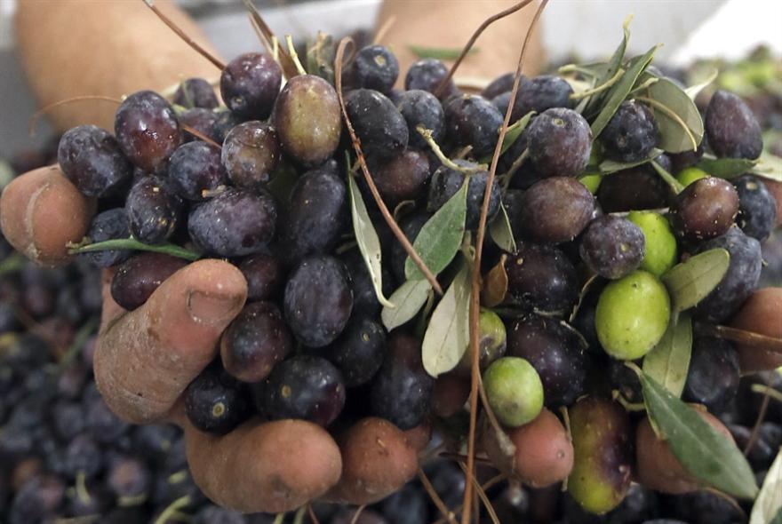 زيبار الزيتون: تلويث بيئي بملايين الدولارات