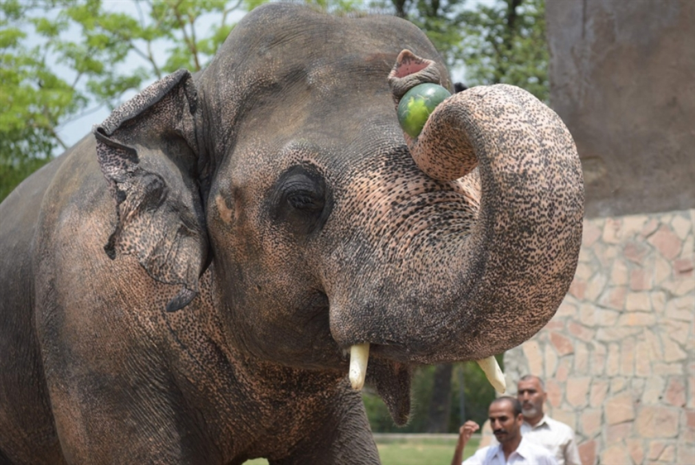 شير في باكستان لمساعدة الفيل «كافان»