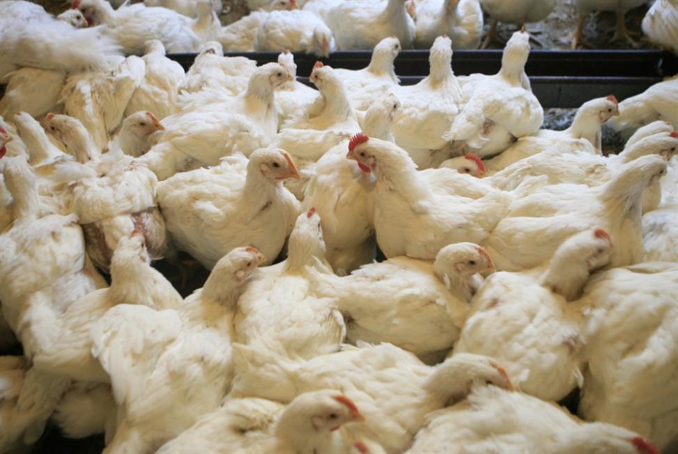 «الدجاج القاتل»: الفضيحة لا تُعالج بفحوصات مخبرية