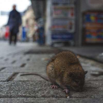 وفاة صيني بفيروس «هانتا»... هل من داعٍ للقلق؟