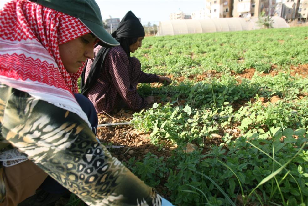 لبنان والسيادة الغذائية: القمح والفاصولياء أبقى من اللحم والدولار
