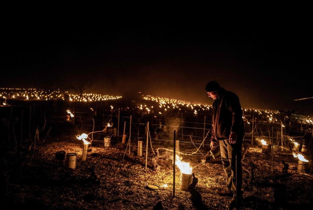 «كارثة زراعيّة» في فرنسا: الصقيع يُفسد ثلث إنتاج النبيذ