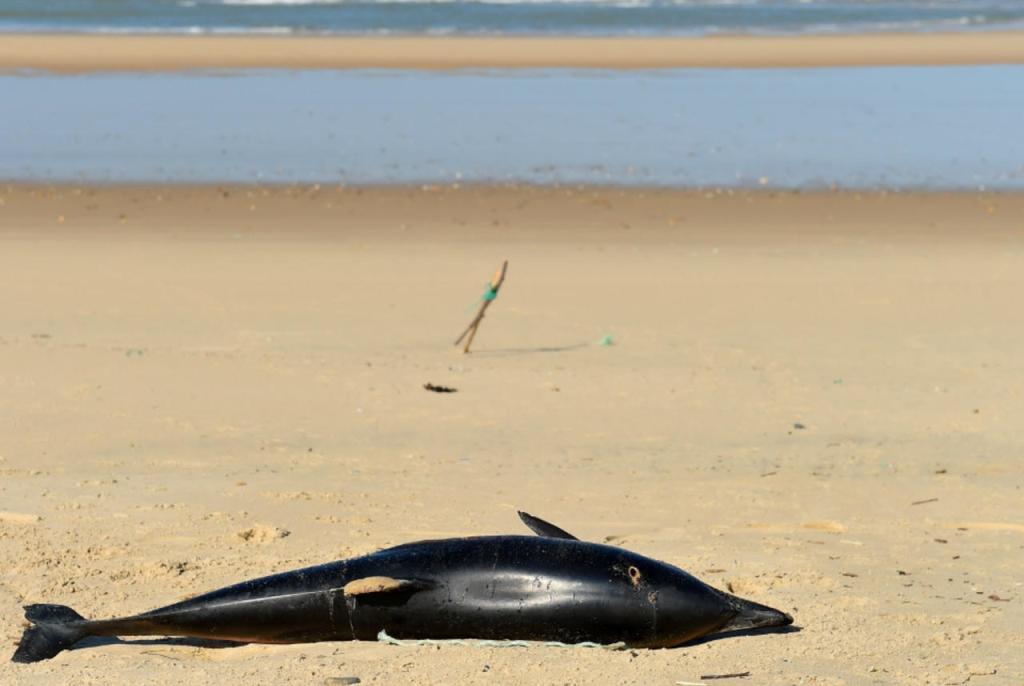 عشرات الدّلافين النّافقة على شواطئ غانا