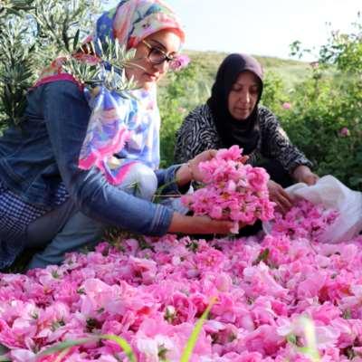 «كرنفال الورد» في البقاع: مئات المزارعين بمواجهة النحل... وجشع التجار!