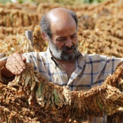 فرق الدولار يُتلف موسم التبغ: لن نبيع إنتاجنا لـ«الريجي»