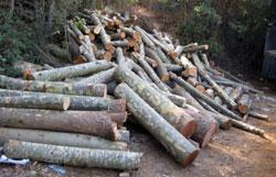 تجميع اشجار مقتطعة من غابة بقعاتة كنعان تمهيداً لنقلها