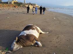 بقرة نافقة على الشاطئ (عصام رجب)