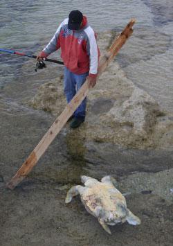 صياد يسحب سلحفاة نافقة في محمية شاطئ صور (علي حشيشو)