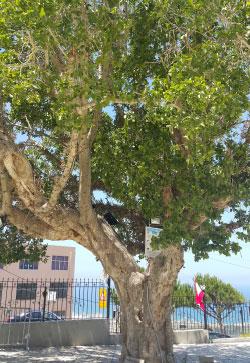 الصورة لشجرة الجميز في مقام سيدة المنطرة في بلدة مغدوشة. يعود تاريخ هذه الشجرة إلى أواخر القرن الثامن عشر ويرجع البعض تاريخها إلى أواخر القرن السادس عشر. هذه الجميزة هي ما تبقى كمعلم حي طبيعي بعد خسار