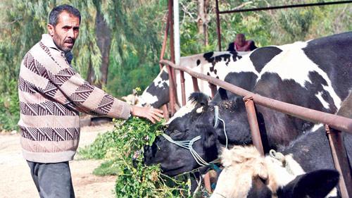 ماعز أم بقر، تحتاج تربية الماشية اهتماماً على مدار الساعة (حسن بحسون)