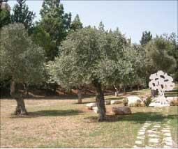 زيتون عربي في حدائق كرمئيل (الأخبار)