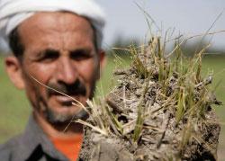 مزارع مصري يحمل شتول الأرزّ التالفة شمال شرقي القاهرة (ناصر نوري ـــ رويترز)