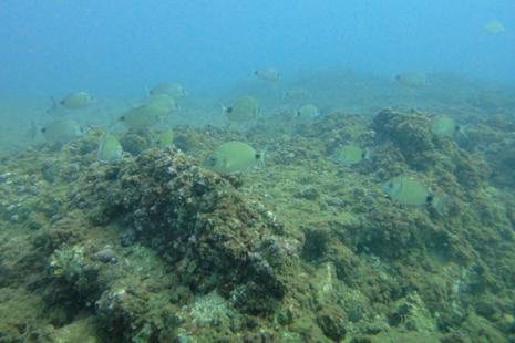 سمك السرغوس على عمق 10 أمتار (حسان الرفاعي)