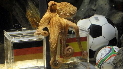 الأخطبوط «بول» متوقعاً فوز أسبانيا على ألمانيا أمس (مارك كيبلر ـ أ ب)
