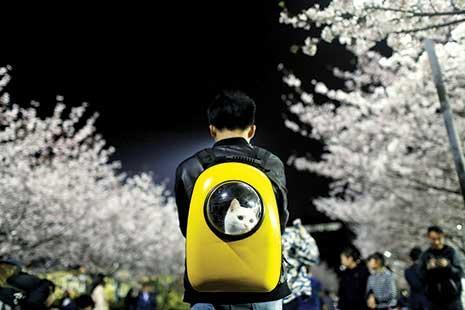 وسط أشجار الكرز المزهرة، وقف رجل صيني في «جامعة تونجي» في شانغهاي حاملاً قطتّه الأليفة البيضاء على ظهره. وبدت لافتة الحقيبة الصفراء المبتكرة التي تقي الحيوان الأليف من البرد وتسمح له بالنظر إلى الخارج