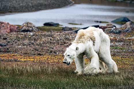 لقطات مصوّرة قصيرة هزّت مشاعر كثيرين، تُثبت جانباً من التأثيرات السلبية للتغيّر المناخي. يُظهر الفيديو دبّاً قطبياً في القطب الشمالي في كندا منهكاً ونحيلاً ولا يجد شيئاً ليأكله، ومصارعاً للبقاء على قي